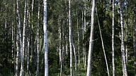 Mežciema iedzīvotājus aicina izteikt viedokli par 48 koku ciršanu