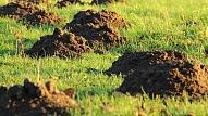 3 efektīvas metodes, kā aizbaidīt kurmjus no dārza teritorijas