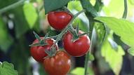 Kā izaudzēt tomātus mājas apstākļos?