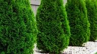 Mūžzaļais krāšņums dārzā: Kā pareizi stādīt un kopt tūjas?