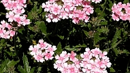 Ilgākās krāsas dārza saulainākajā vietā nodrošinās ziedaugs verbēna