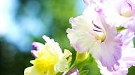 Imperiālā grācija un Vidusjūras eksotika – gladiola