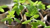 Kā atšķirt vietējas izcelsmes augu no ievestā