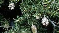 Meža tumšzaļais majestātiskums - hemlokegles