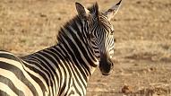 Rīgas Zooloģiskajā dārzā izbūvēs jaunas mītnes zebrām, pērtiķiem, degunradžputniem un surikātiem