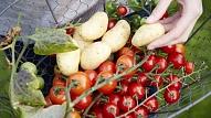 Unikāls augs, kas ražo tomātus un kartupeļus